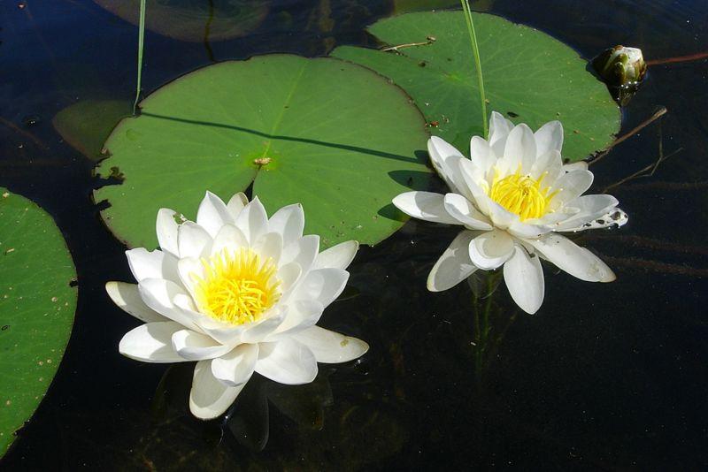 Легенды о кувшинке Водяная лилия в легендах и мифахВодяная лилия - очаровательная и нежная белая кувшинка...