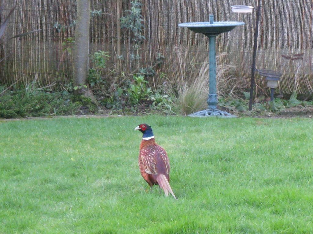 Разведение и содержание фазанов в домашних условиях 70