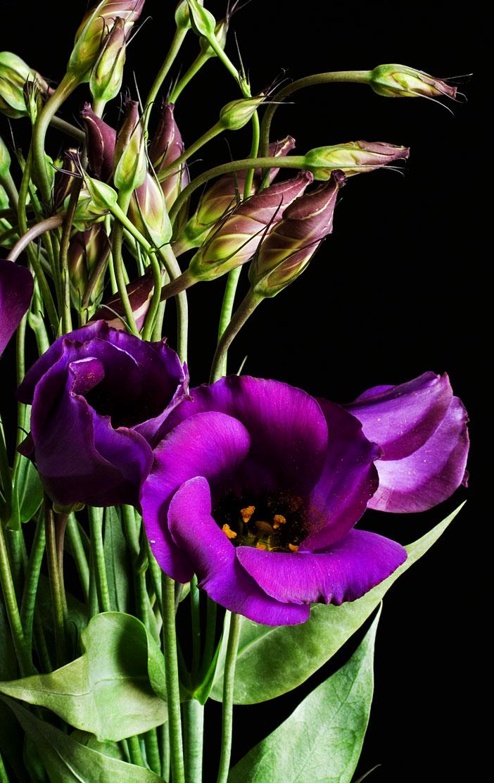 цветок эустома фото:
