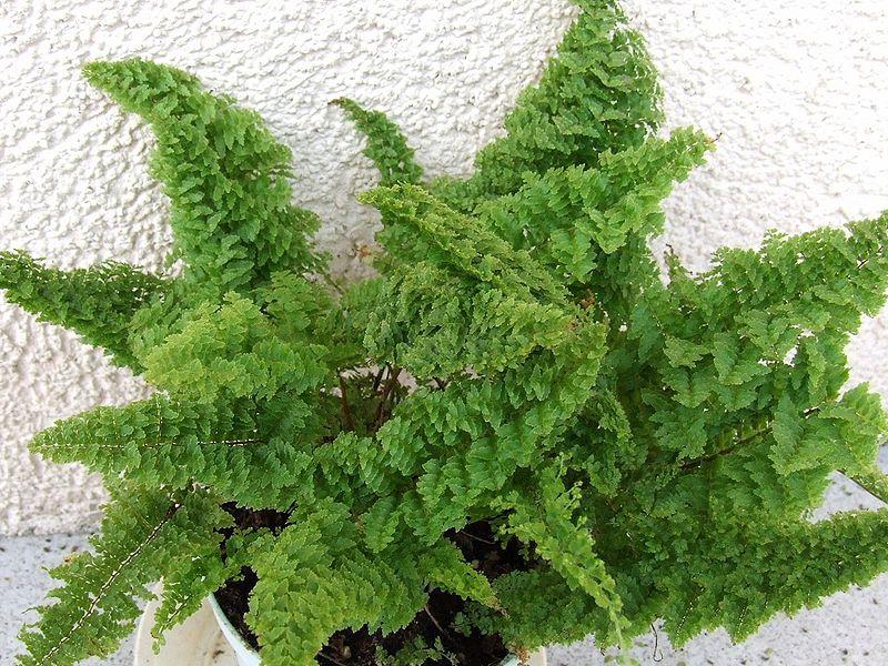 папоротник растение