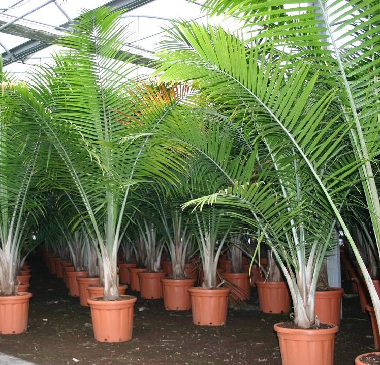 домашние растения пальмы
