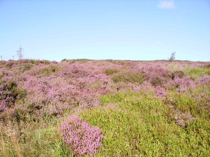 Пустошь                       H-Heather_in_Yorkshire_03
