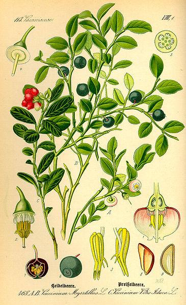 ягоды россии название и фото