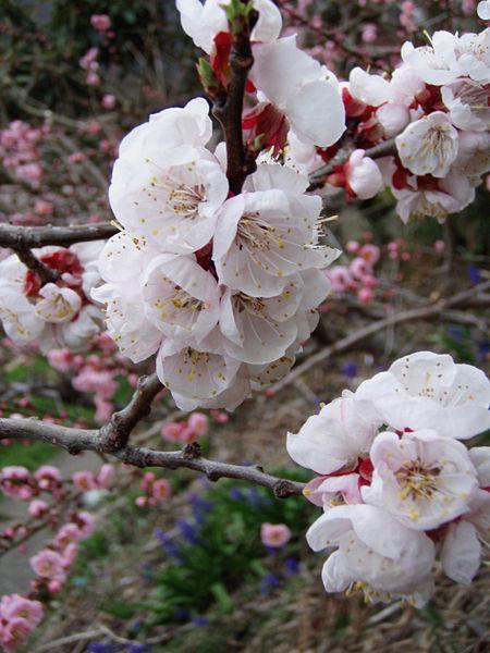 На снимке слева цветение абрикоса