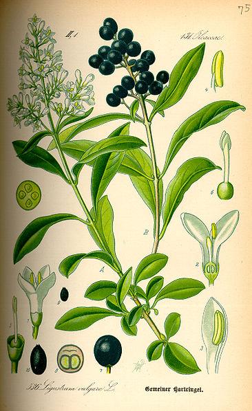 http://www.tsvetnik.info/images/jap_Illustration_Ligustrum_vulgare0.jpg