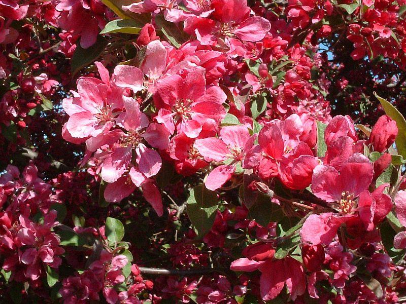 Крона широкая ажурная, листья яйцевидные, зеленые.  Цветет в V, бутоны красные, цветки бледно-розовые.