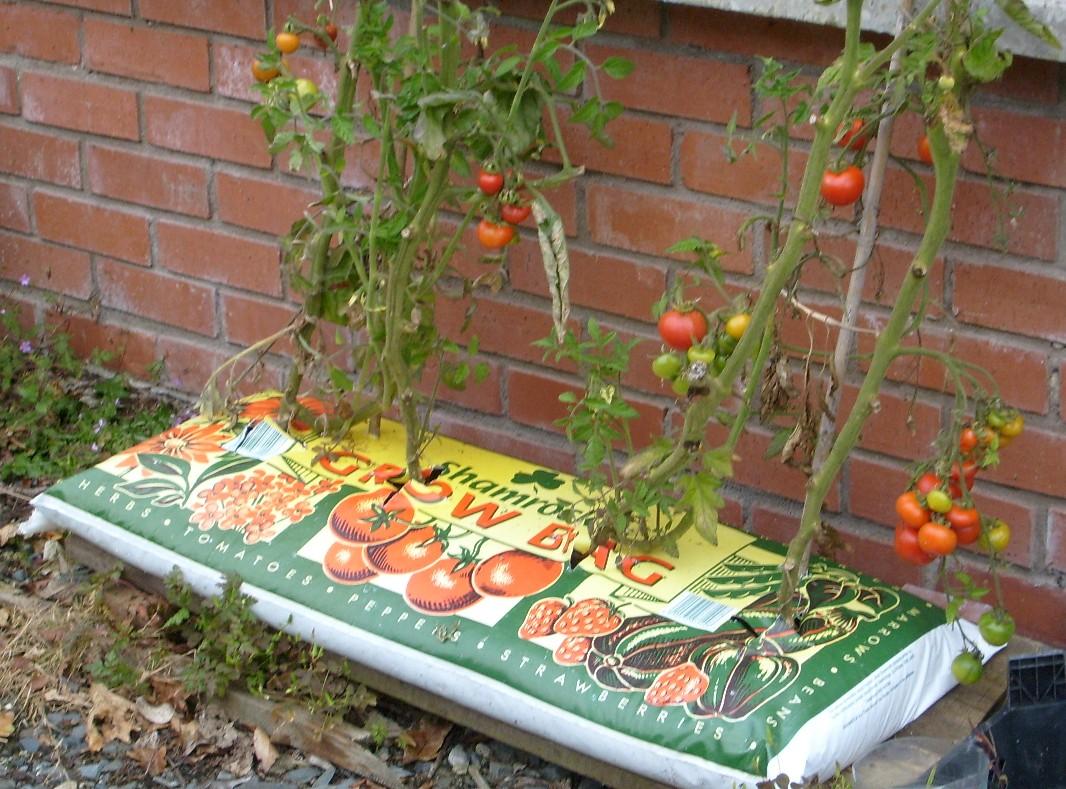 Выращивание томатов в бутылках 535