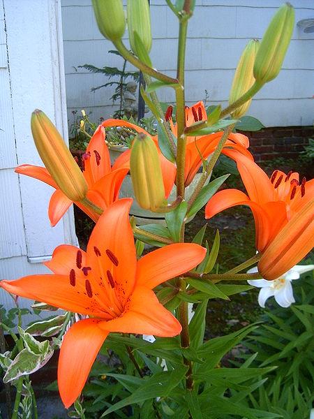 Лилии после цветения срезать или нет