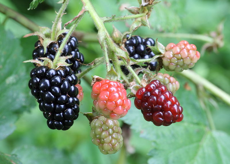 http://www.tsvetnik.info/images/q-Ripe,_ripening,_and_green_blackberries.jpg