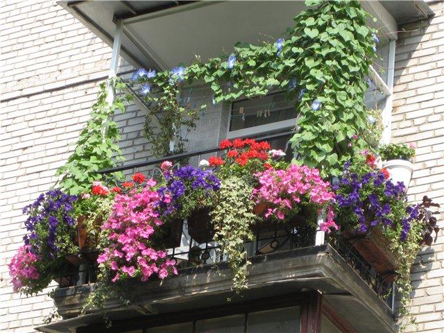 Балконные цветы в доме