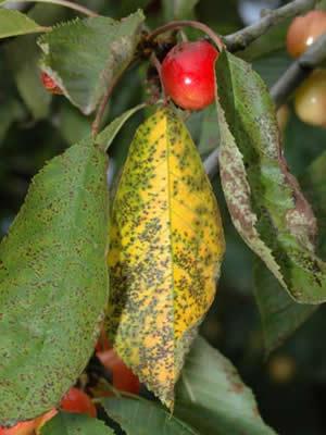 фото коккомикоз вишни