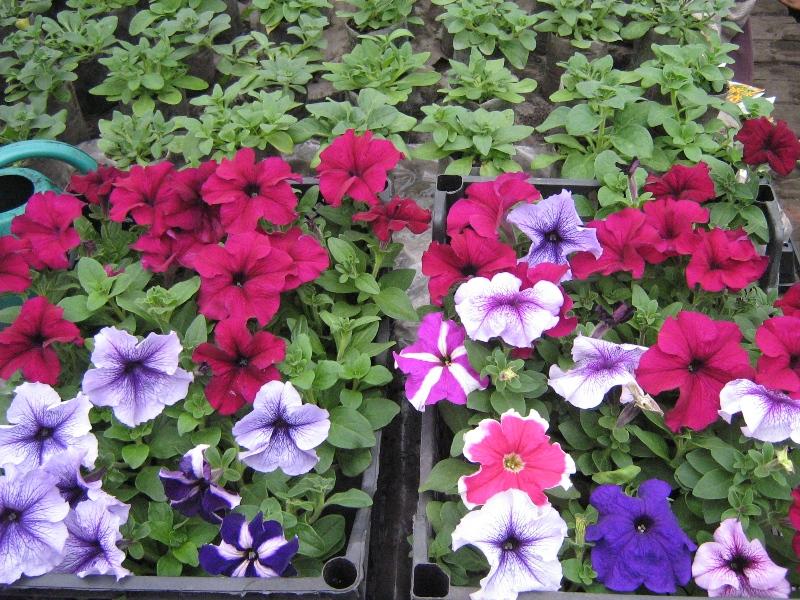 Купить цветы розсадой доставка цветов flower