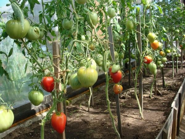 Какой сорт огурцов самый урожайный для открытого грунта и ...