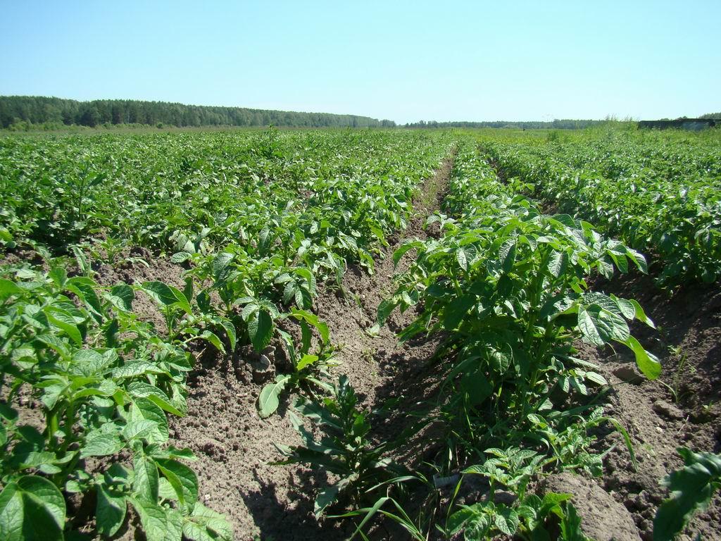 Огород когда сажать картофель 22