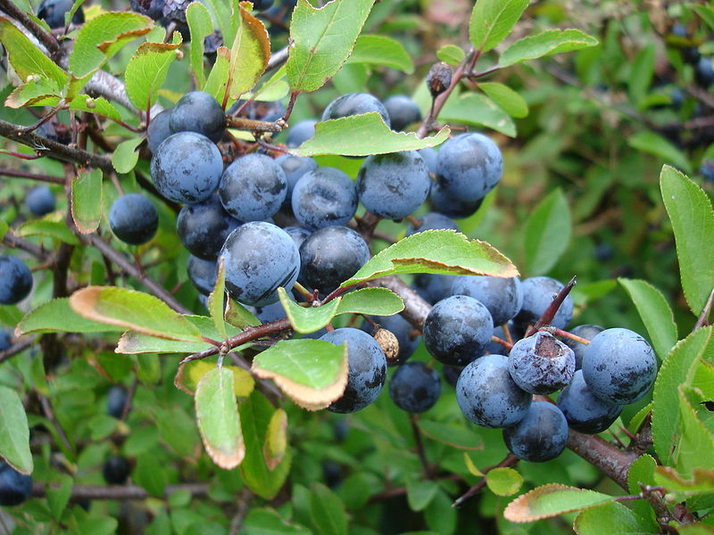 How to identify Sloes to make sloe gin etc