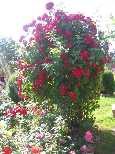 Плетистая роза пересадка