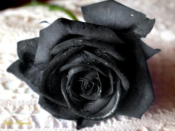 фото розы чёрной