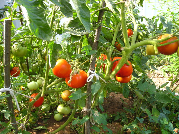 томат роза фото