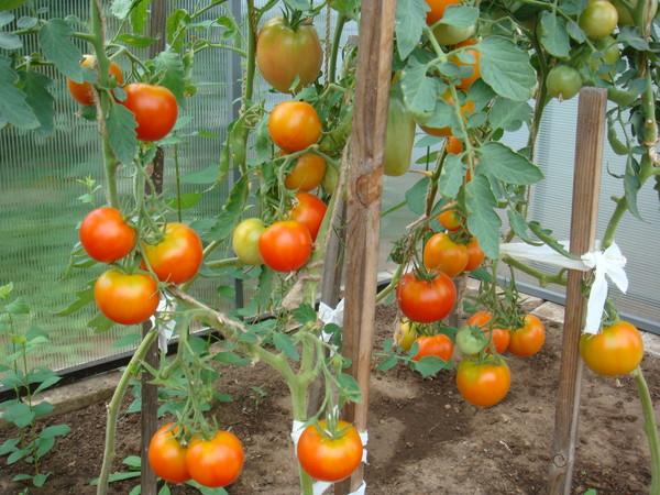 Как сажать помидоры в теплице.