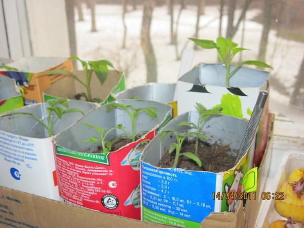 В каких емкостях выращивать рассаду для помидор?