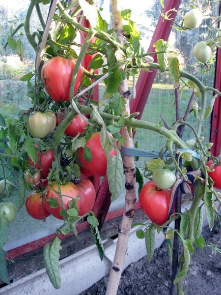 Посоветуйте урожайные сорта томата