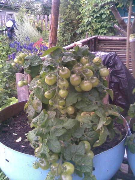 Как вырастить помидоры на подоконнике: посадка и уход за домашними томатами