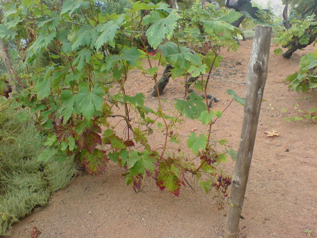 38 Как сделать для винограда подпорки