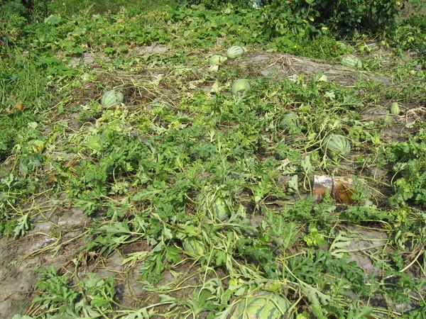 надо ли закаливать покупные семена дыни